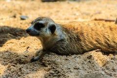 逗人喜爱的Meerkat海岛猫鼬类suricatta从他的孔搬出 库存图片