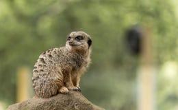 逗人喜爱的Meerkat,在高度戒备 免版税库存图片