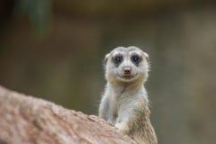 逗人喜爱的meerkat 图库摄影