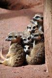 逗人喜爱的meerkats家庭  库存图片