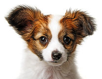 逗人喜爱的Papillon小狗 免版税库存图片
