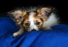逗人喜爱的Papillon小狗 免版税库存照片