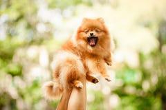 逗人喜爱的Pomeranian小狗在手上打呵欠 免版税库存照片