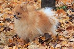 逗人喜爱的pomeranian小狗在秋天叶子站立 库存图片