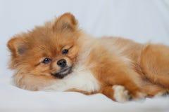 逗人喜爱的Pomeranian小狗在说谎白色backgroundlies 库存图片