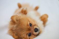 逗人喜爱的Pomeranian小狗在说谎白色backgroundlies 免版税库存图片