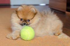 逗人喜爱的pomeranian小狗,与球的小狗在家 免版税库存照片