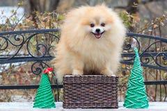 逗人喜爱的pomeranian波美丝毛狗在一个柳条筐站立 免版税库存图片
