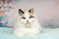 逗人喜爱的ragdoll小猫在用花装饰的背景中 免版税图库摄影
