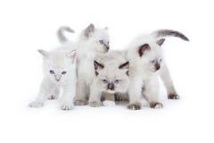 逗人喜爱的Ragdoll小猫 免版税库存图片