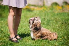 逗人喜爱的Shih慈济玩具狗在绿色春天草甸坐 嬉戏的宠物 库存照片