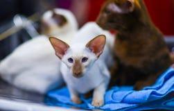 逗人喜爱的shorthair东方猫, peterbald,在被弄脏的背景 defocused 库存图片