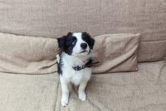 逗人喜爱的smilling的小狗博德牧羊犬滑稽的画象在家在长沙发等待的奖励 库存照片