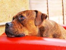 逗人喜爱的staffy狗 免版税库存图片
