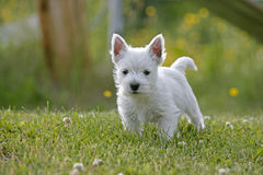 逗人喜爱的Westie小狗在围场 免版税库存照片