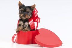 逗人喜爱的yorkie小狗。 库存照片