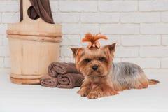 逗人喜爱的yourkshire狗画象在修饰以后的 库存图片