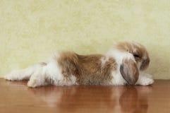 逗人喜爱砍有耳的小兔子 免版税图库摄影