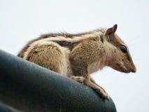 逗人喜爱美好棕色灰鼠担任主角 免版税库存图片