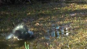 逗人喜爱蓝冠山雀洗涤的池塘 股票录像