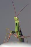 逗人喜爱螳螂祈祷 免版税库存图片