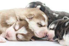 逗人喜爱西伯利亚爱斯基摩人小狗睡觉 库存图片