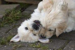 逗人喜爱金毛猎犬小狗使用 库存图片