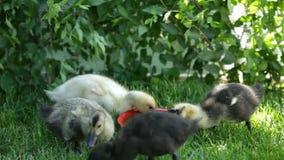 逗人喜爱鸭子周围水罐喝 影视素材