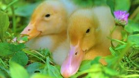 逗人喜爱鸭子放松 影视素材