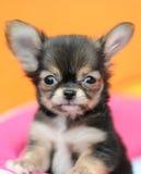 逗人喜爱黑色的奇瓦瓦狗 免版税库存照片