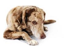 逗人喜爱,但是害羞的狗 免版税库存照片