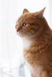 逗人喜爱,毛茸的猫 免版税库存图片