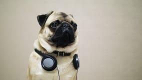 逗人喜爱,滑稽的哈巴狗狗画象在耳机听的音乐的 影视素材