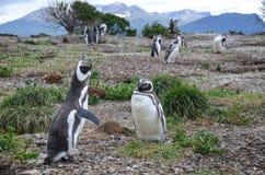 逗人喜爱,美丽,叫喊的magellanic企鹅在乌斯怀亚,巴塔哥尼亚,阿根廷附近的Isla Martillo 库存照片