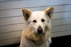 逗人喜爱,金毛猎犬或拉布拉多,是一条好狗 库存照片