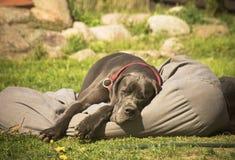 逗人喜爱年轻丹麦种大狗睡觉 免版税库存照片