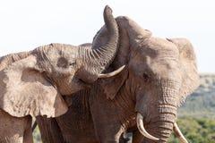 逗人喜爱-非洲人布什大象 免版税库存照片