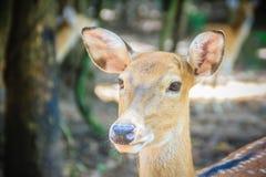 逗人喜爱chital或cheetal (轴轴),亦称被察觉的鹿o 免版税库存图片