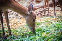 逗人喜爱chital或cheetal (轴轴),亦称被察觉的鹿o 库存照片