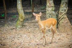 逗人喜爱chital或cheetal (轴轴),亦称被察觉的鹿o 免版税库存照片