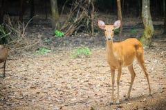 逗人喜爱chital或cheetal (轴轴),亦称被察觉的鹿o 图库摄影
