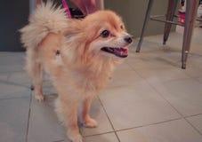逗人喜爱Pomeranian的狗 免版税库存图片