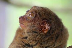逗人喜爱tarsier 库存照片