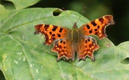 逗号蝴蝶聚乙烯性原细胞c册页,栖息在有被涂的翼的一片叶子 免版税库存照片