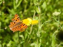 逗号蝴蝶& x28; 聚乙烯性原细胞c-album& x29;在花在夏天Ful之外 免版税库存图片