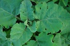 通常植物名的叶子  免版税库存图片