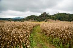 通往玉米田的道路 免版税库存图片