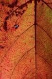 通过一片红葡萄常春藤秋天叶子静脉点燃 库存图片