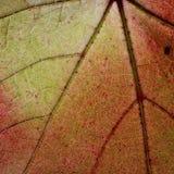 通过一片红葡萄常春藤秋天叶子静脉点燃 免版税图库摄影