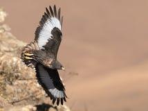 通过岩石表面的非洲狐狼肉食飞行 免版税库存照片